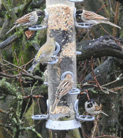A photograph of one of the feeders at Ladywalk complete with both Common Reed Buntings and European Greenfinches.
