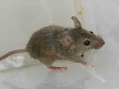 Mice can not resist peanut butter so be sure to set your traps with peanut butter.