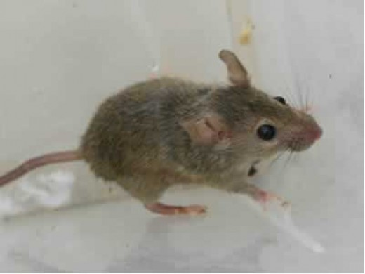 how to keep field mice out of your house