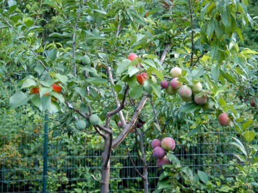 Tree with different kinds of fruits on it