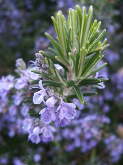 The Healing Properties of Rosemary