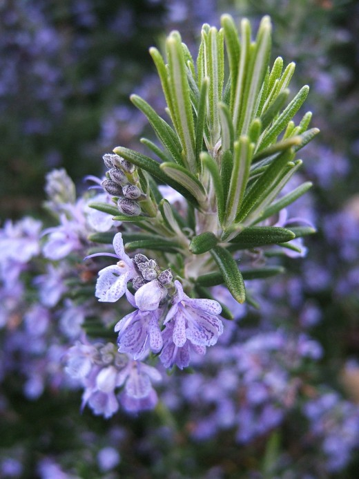 """Rosmarinus officinalis, commonly known as rosemary, is a woody, perennial herb with fragrant, evergreen, needle-like leaves and white, pink, purple, or blue flowers, native to the Mediterranean region"" (Wikipedia)"