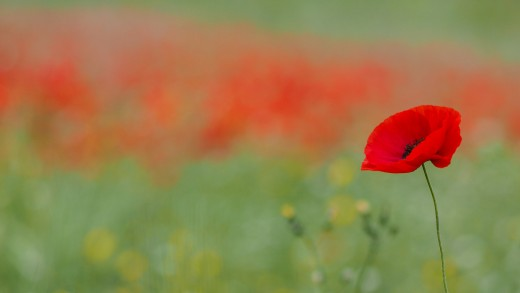 The poppy has many healing properties.