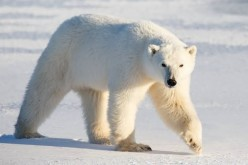 What is the difference between Polar Bears and Black Bears ?