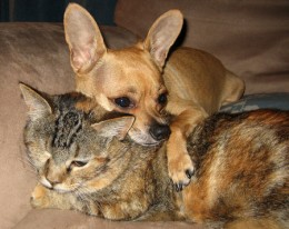Some Chihuahuas are very affectionate, even to cats!
