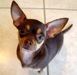 A short-haired Chihuahua