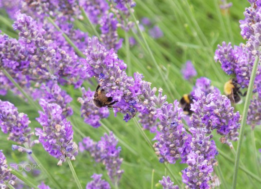 Bees love lavender.  When you know about all the healing properties, you will love it as well.