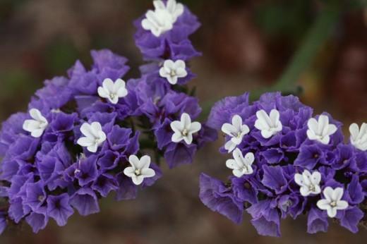 Cut-leaf Sea Lavender
