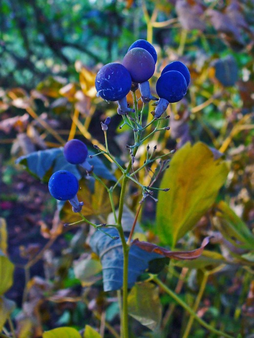 The berries of the blue cohosh plant