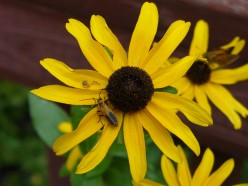 Another Rudbeckia with an little bug on it this time.