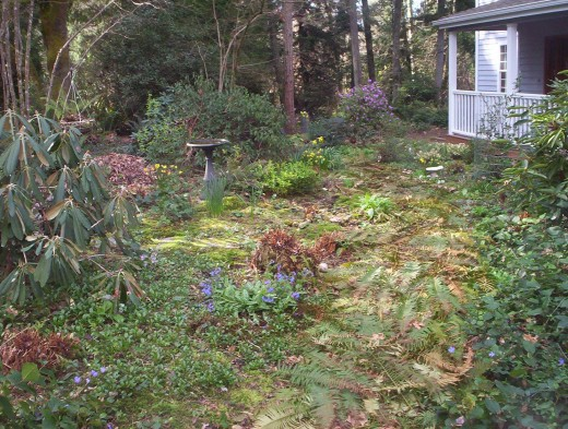 The shade garden in the front of the house is showing off its Springtime blooms. I use the cut fern fronds to line the paths. In a few weeks they will be brown and look and work just like beauty bark.