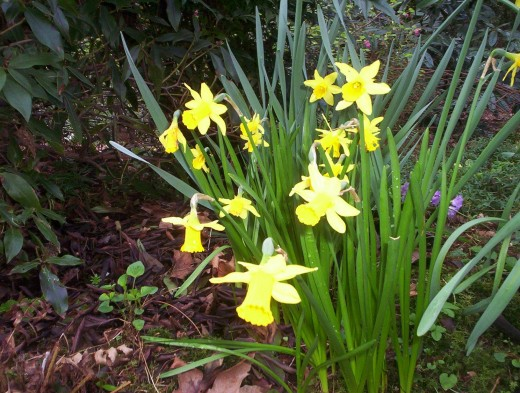 Who doesn't love daffodils? They return each Spring, and as the years pass they multiply.