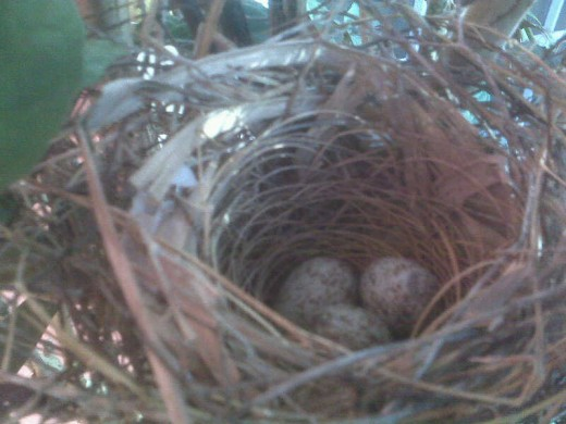 Cam Phone Pic of Nest of Day Eggs were Discovered