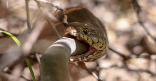 """If the food is good, a snake can """"chow down"""" just like a human being."""