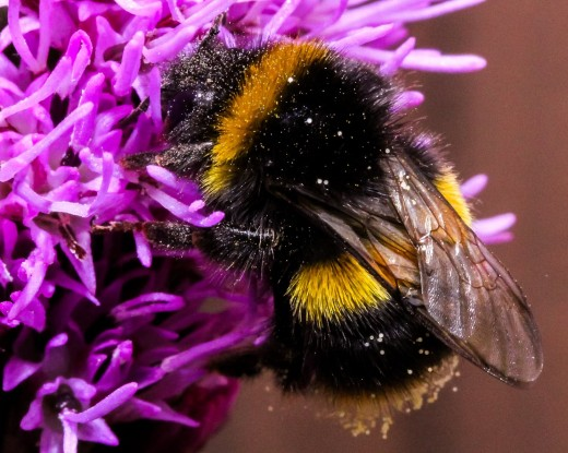 The bumblebee: so lovely. So humble.