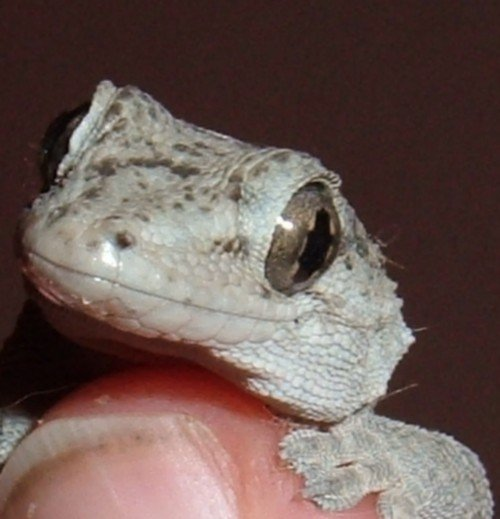 Close-up on a Gecko's face