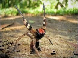 Brazilian Wandering Spider, looks dangerous and is