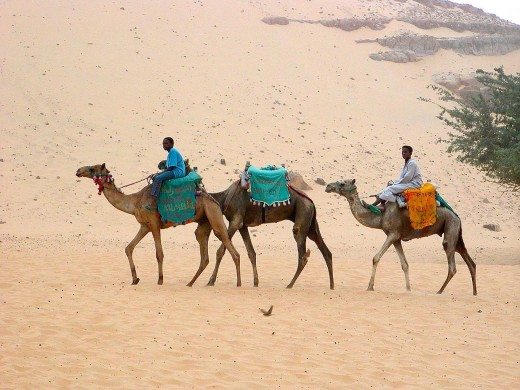 Three camels in the desert. Feel the heat of the day.