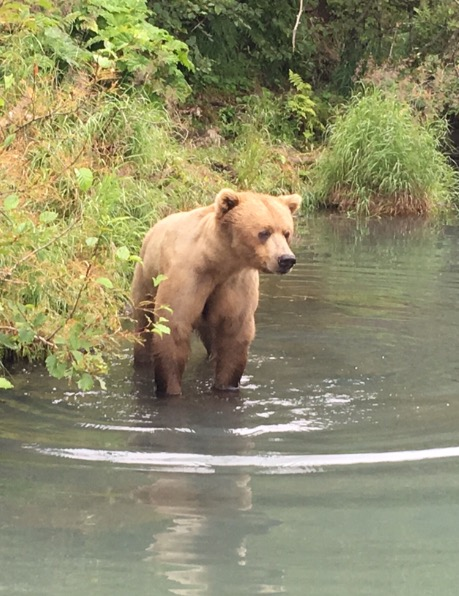 Young Grizzly Bear coming to say hello.