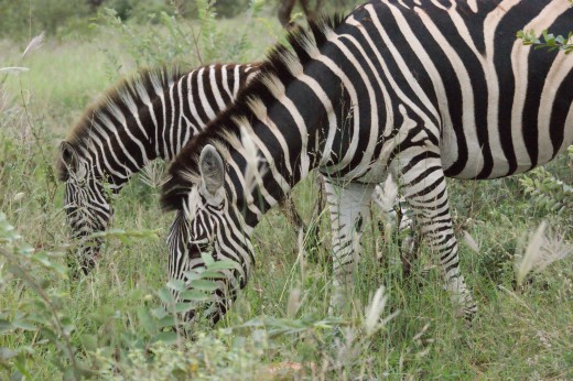 Zebras, always a favourite
