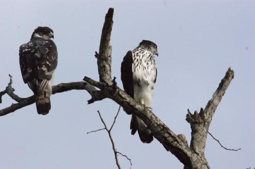 Rare African Hawk-Eagle