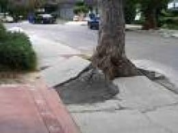 Trees and roots cause hazards on Mexico's sidewalks    Credit insidecocal.com