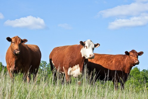 A group of beef cattle