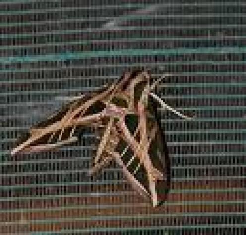 Panatanal - hawk moth