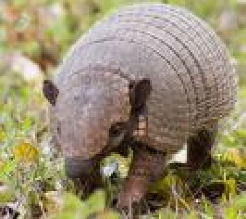Panatanal - anteater