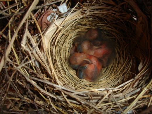 Photo by: Sharing Insight-  The morning Cardinal Birds were born