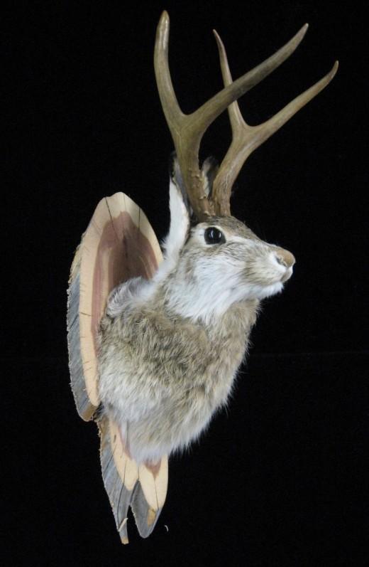 Taxidermy of a jackalope head