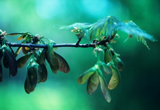 """The seeds of the silver maple grow in """"wings."""""""