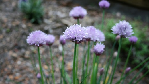 If left unsnipped, chives will develop flowerheads and go to seed.