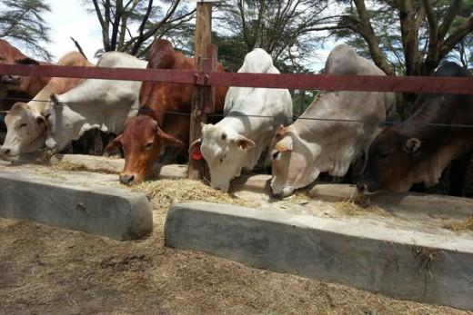 Bull farming and tourist farming conducted on the same farm