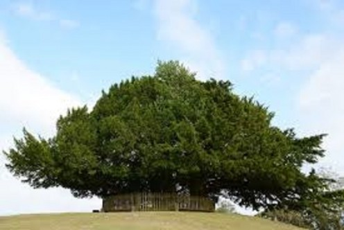 The Long Lived Yew Tree in Ireland.