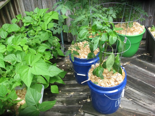 5-gallon buckets work well for container gardens.