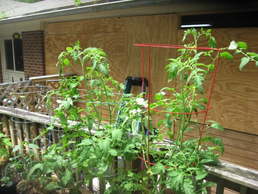 These cages are supporting indeterminate tomato plants.