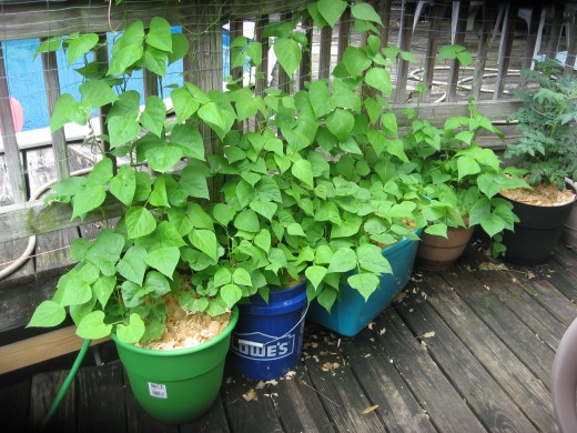 Beans are easy to grow from seeds. These are climbing on woven-wire fencing.