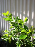 Growing a Lemon Tree From Seeds at Home