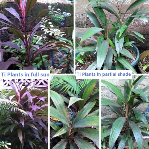 Ti plant propagations from one mother plant - exposed to different light intensities
