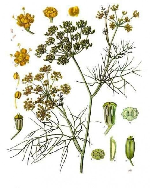 Illustrated diagram of fennel, from Koehler's Medicinal-Plants 1887. Image in public domain.