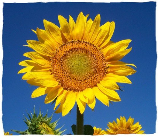 Sunflower, by being there.