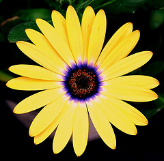 African Daisy by Tea on flickr