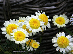Butter Daisy by Kazooze on flickr