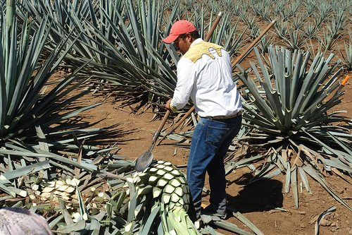 Jimador chopping agave plant leaves - Photo by RJL20 on Flickr.com under Creative Commons License