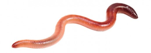 Say hello to our good friend, the redworm.