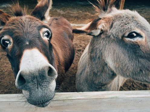 These donkeys know many secrets, but they will never tell.