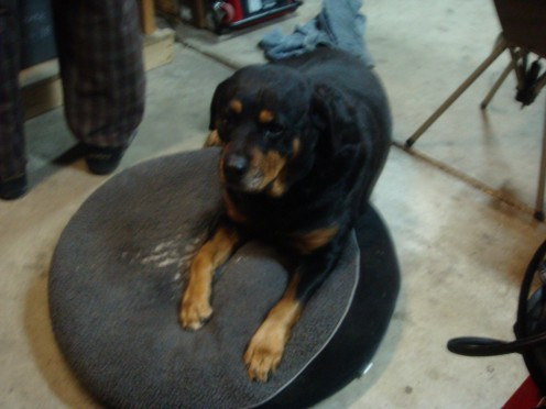 A Rottweiler loves to be where it's owner is. They're loyal dogs, and want to know where you are all the time! I let my girl in on just about everything I possibly can! :)