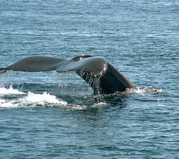 Whale watching tour in Maine.