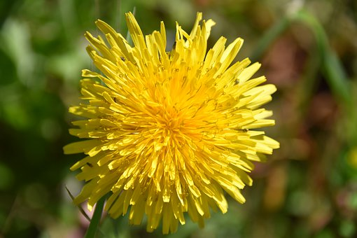 A new dandelion